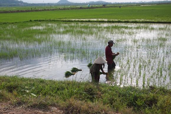 Rice Fields in Hue, Vietnam