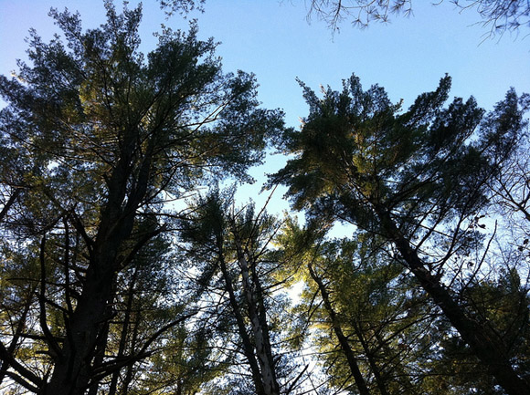 Pine Trees in Lowell-Dracut-Tyngsboro State Forest